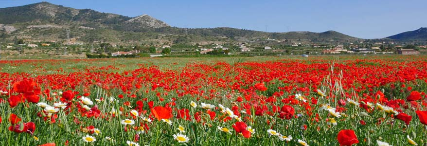 Summer Poppies in the Hondon Valley